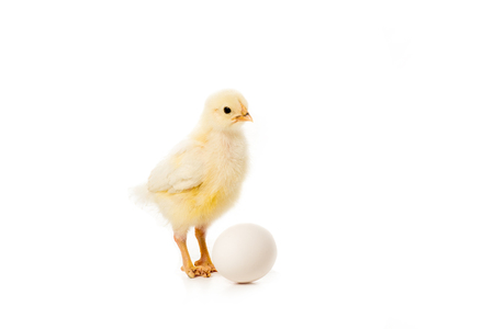 adorable little chick with egg isolated on white