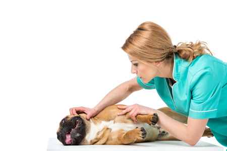 veterinarian in uniform examining french bulldog isolated on white