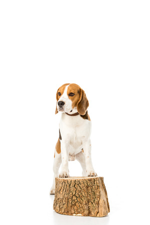 beagle dog in collar standing on wooden stump isolated on white Stockfoto