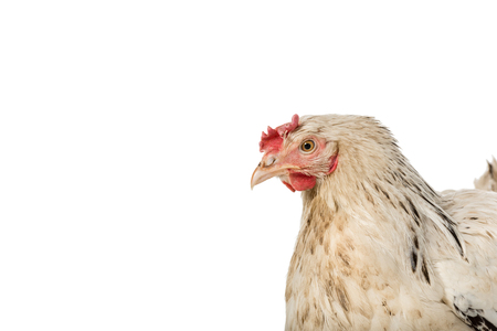 close-up view of beautiful white hen isolated on white