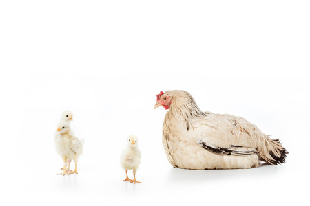 hen looking at cute little chickens isolated on white Banco de Imagens
