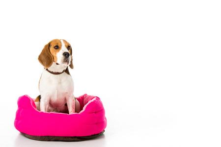 entzückender Beagle-Hund sitzt auf rosa Matratze isoliert auf weiß isolated