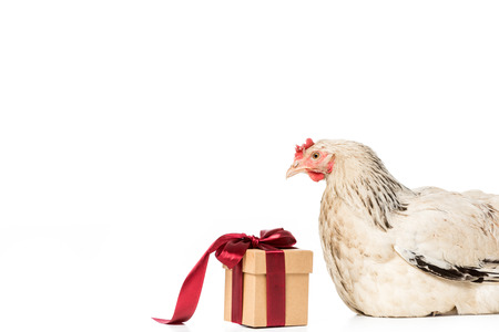 hen looking at gift box with red ribbon isolated on white Stock Photo