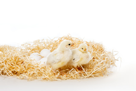 adorable little chicks on nest with eggs isolated on white