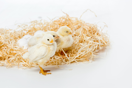 adorable little chickens on nest isolated on white Reklamní fotografie