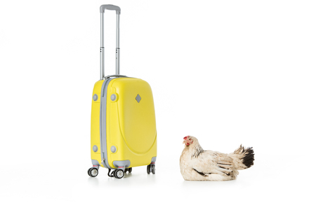 hen lying near yellow suitcase isolated on white