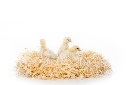 three adorable little chicks on nest isolated on white