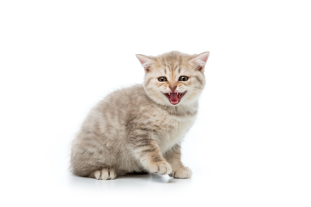 adorable fluffy kitten meowing and looking at camera isolated on white
