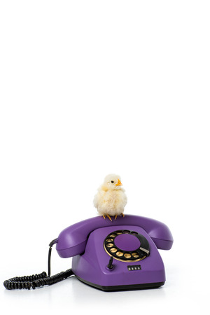cute little chicken sitting on rotary phone isolated on white