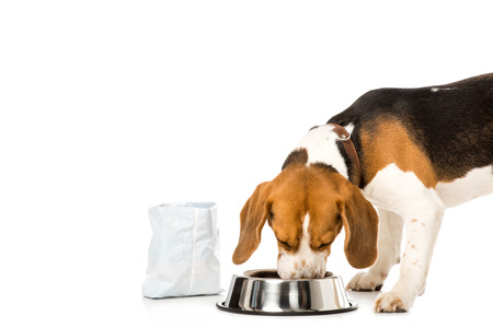 beagle dog eating dog food isolated on white