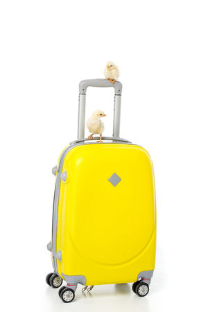 cute little chickens on yellow suitcase isolated on white