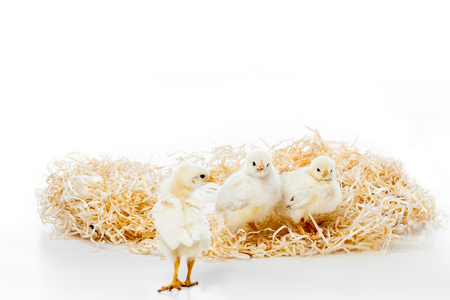 three adorable little chickens on nest isolated on white Reklamní fotografie - 112013923