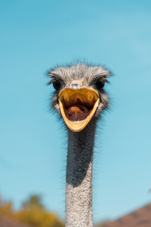 Selective focus of beautiful ostrich with open beak against blue sky background Imagens