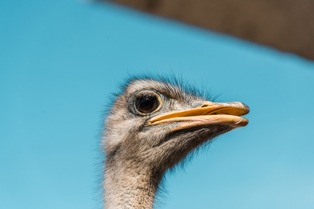Selective focus of beautiful ostrich against blue sky background Imagens