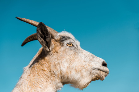 Low angle view of adorable goat against blue sky background Фото со стока
