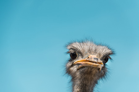 Close up portrait of beautiful ostrich against blue sky background Reklamní fotografie - 111344534