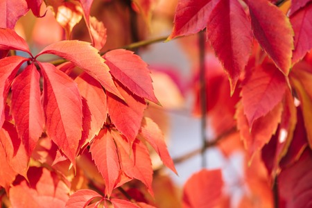 Close up of beautiful red autumnal leaves Banco de Imagens
