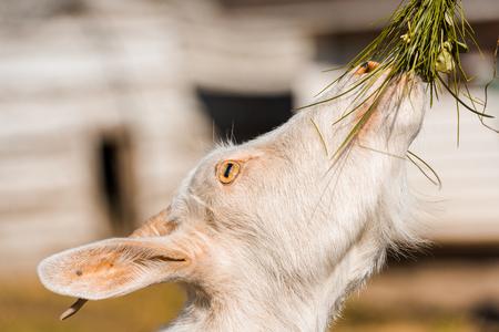 Selective focus of adorable goat eating grass at farm Фото со стока
