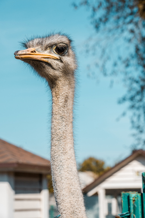 Selective focus of beautiful ostrich standing at farm Imagens