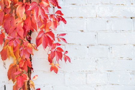 Beautiful autumnal plants with red leaves and white brick wall background Banco de Imagens