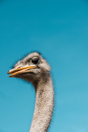 Portrait of beautiful ostrich against blue sky background 写真素材