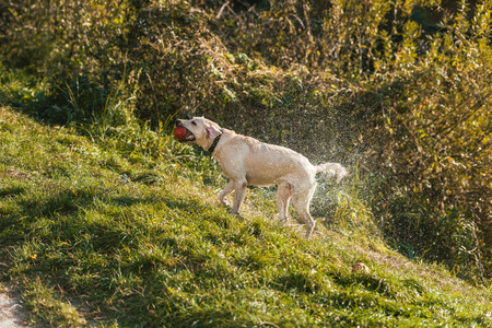 Selective focus of golden retriever with apple in mouth shaking itself dry on grass in park Stock fotó