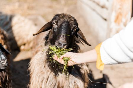 Cropped image of female farmer feeding sheep by grass at farm 写真素材