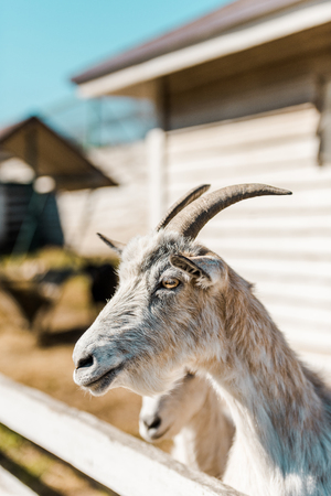Close up view of goat grazing near wooden fence at farm
