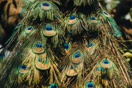 Close-up view of beautiful feathers on peacock.