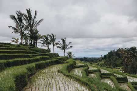 Beautiful view of green Jatiluwih Rice Terraces in Bali