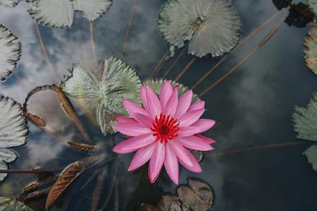 Vista superior de la hermosa flor de loto rosa con hojas verdes en el estanque Foto de archivo