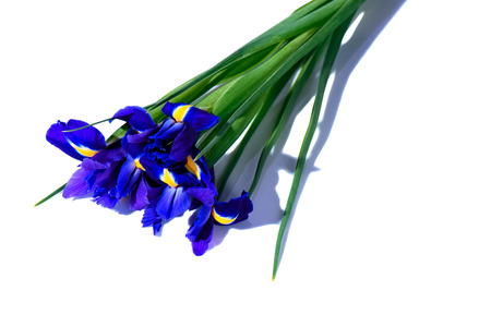 Purple iris flowers, on white surface background
