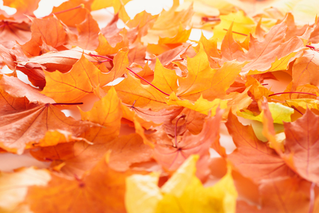 Selective focus of orange and yellow maple leaves, autumn background