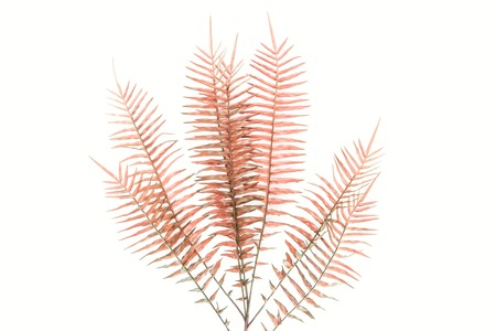 View from above of red fern branches isolated on white background, minimalist concept Stok Fotoğraf