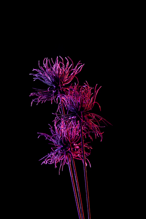 Toned picture of beautiful plant with purple lighting isolated on black background Stok Fotoğraf