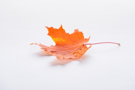 One fallen orange maple leaf isolated on white, autumn background