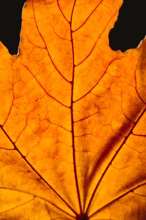 close up of orange maple leaf with veins isolated on black, autumn background Stock Photo