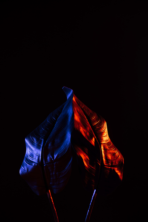 Toned picture of beautiful tropical leaves with red and blue lighting isolated on black background