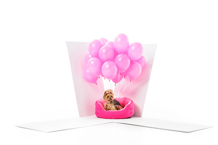 Yorkshire terrier in gift box with pink balloons isolated on white Stock Photo