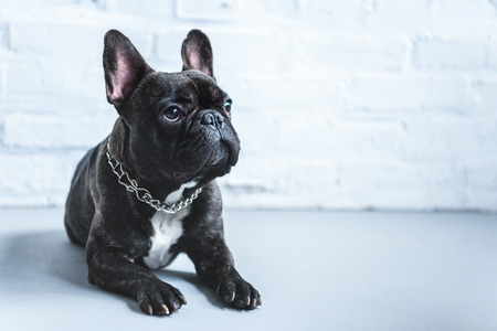 Cute Frenchie dog lying on floor and looking up Reklamní fotografie