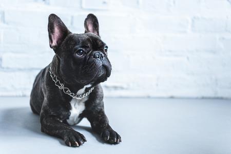 Simpatico cane Frenchie sdraiato sul pavimento e guardando in alto