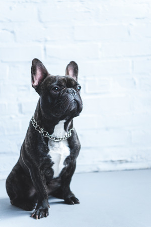French bulldog sitting on the floor by white wall