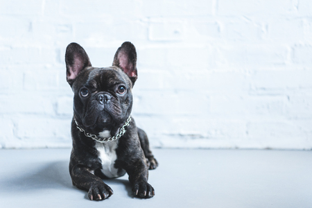 Cute French bulldog lying on floor and looking up