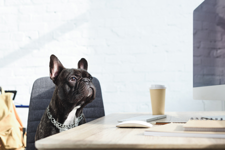 Black Frenchie sitting on chair by computer on table 스톡 콘텐츠 - 111572157