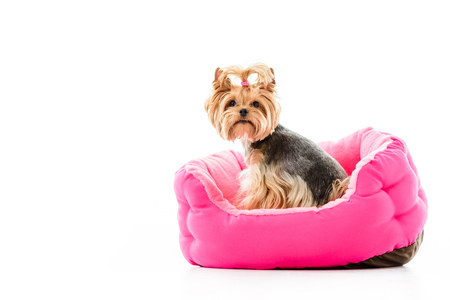 Yorkshire terrier sitting on pink bed isolated on white