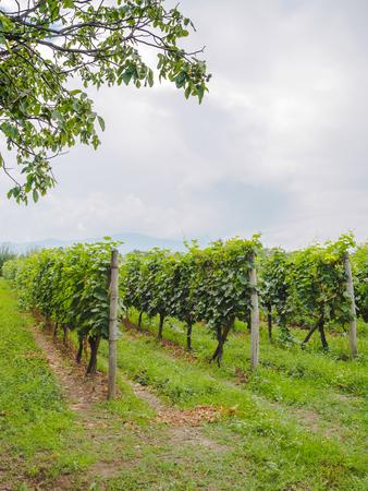beautiful green vineyard with rows of plants in georgia