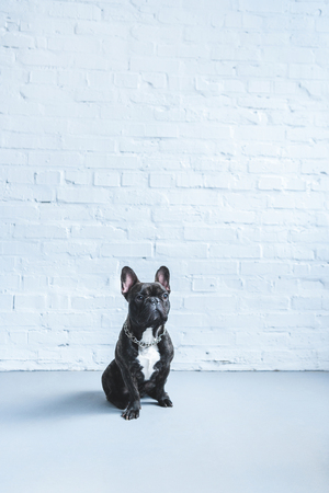 Black Frenchie dog sitting on the floor by white wall Stockfoto