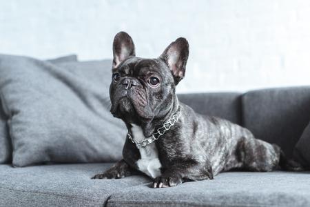 Cute french bulldog lying on grey sofa Imagens