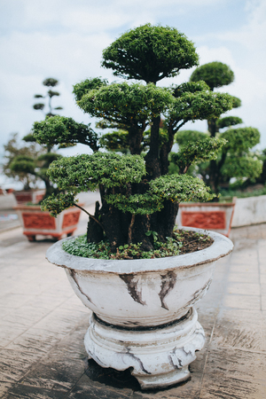 close-up view of beautiful green bonsai tree growing in pot, Ho Chi Minh, Vietnam