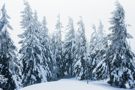 Trees covered with snow in winter Gorgany mountains Stock fotó - 111692532